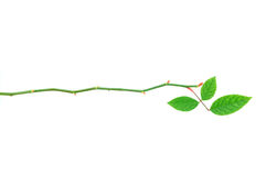 Fogli della Rosa Immagini Stock