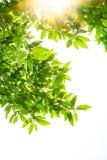 Fogli della sorgente dell'albero bianco della magnolia Immagine Stock