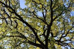 Fogli della sorgente su un albero Fotografia Stock