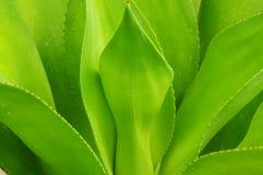 Fogli della vegetazione della pianta di secolo Fotografia Stock Libera da Diritti