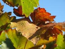 Fogli della vite in autunno Fotografia Stock