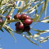 Fogli delle olive e mazzo di   fotografie stock