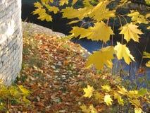 Fogli di acero Fotografia Stock Libera da Diritti