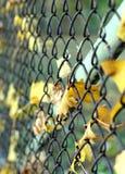 Fogli di acero e rete fissa del ferro. Fotografie Stock Libere da Diritti