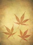 Fogli di acero giapponese Grungy Fotografie Stock Libere da Diritti