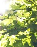 Fogli di acero verdi Fotografia Stock Libera da Diritti