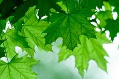 Fogli di acero verdi Fotografia Stock
