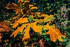 Fogli di autunno al sole Fotografia Stock Libera da Diritti