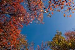 Fogli di autunno (alberi di acero) Immagine Stock Libera da Diritti