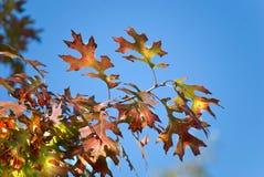Fogli di autunno alla luce solare Immagine Stock