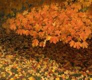 Fogli di autunno arancioni dorati Fotografia Stock