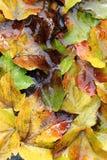 Fogli di autunno bagnati Fotografie Stock Libere da Diritti