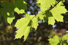 Fogli di autunno come priorità bassa fotografie stock libere da diritti