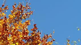 Fogli di autunno con i precedenti del cielo blu stock footage