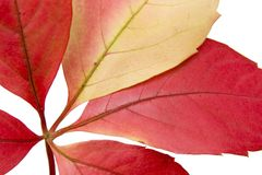 Fogli di autunno contro una priorità bassa bianca Fotografia Stock Libera da Diritti
