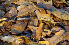 Fogli di autunno del Brown su terra Fotografie Stock Libere da Diritti