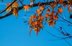Fogli di autunno dell'acero Immagine Stock