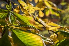 Fogli di autunno della castagna Fotografia Stock Libera da Diritti