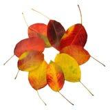 Fogli di autunno della pera Immagine Stock