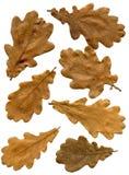 Fogli di autunno della quercia Immagine Stock