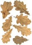 Fogli di autunno della quercia Fotografia Stock