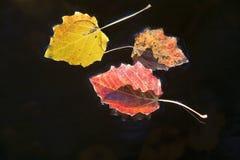 Fogli di autunno di galleggiamento Immagini Stock
