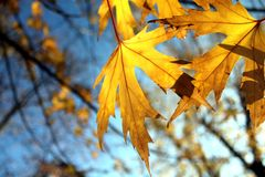 Fogli di autunno dorati immagine stock