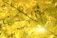 Fogli di autunno dorati fotografia stock libera da diritti