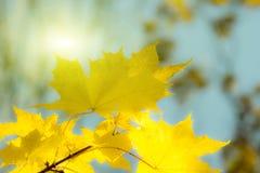 Fogli di autunno dorati immagini stock