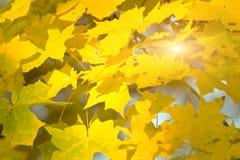 Fogli di autunno dorati fotografie stock libere da diritti