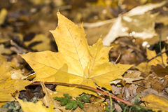 Fogli di autunno dorati Fotografie Stock