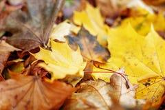 Fogli di autunno dorati Il concetto è autunno Fotografia Stock