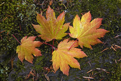 Fogli di autunno e un cono del pino immagine stock