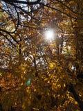 Fogli di autunno gialli immagini stock libere da diritti