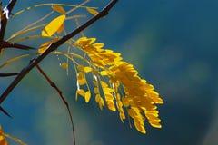 Fogli di autunno gialli Fotografie Stock Libere da Diritti