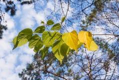 Fogli di autunno gialli Fotografia Stock Libera da Diritti