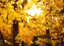 Fogli di autunno gialli Caduta Fotografie Stock