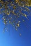 Fogli di autunno gialli contro cielo blu Immagini Stock