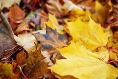 Fogli di autunno gialli Il concetto è autunno Fotografia Stock Libera da Diritti
