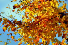 Fogli di autunno gialli sull'albero Immagini Stock Libere da Diritti