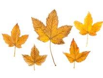 Fogli di autunno impostati Accumulazione dei fogli di autunno su priorità bassa bianca Fotografia Stock