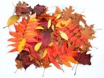 Fogli di autunno isolati Fotografie Stock Libere da Diritti
