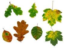 Fogli di autunno isolati Immagini Stock