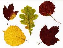 Fogli di autunno, isolati Fotografia Stock
