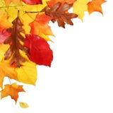 Fogli di autunno isolati Caduta Immagini Stock