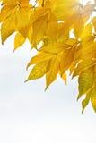 Fogli di autunno isolati sopra la priorità bassa del whte Fotografie Stock