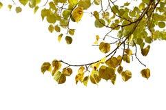 Fogli di autunno isolati su bianco Fotografia Stock