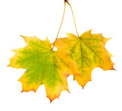 Fogli di autunno isolati su priorità bassa bianca Immagini Stock Libere da Diritti