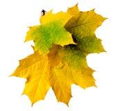Fogli di autunno isolati su priorità bassa bianca Fotografie Stock Libere da Diritti