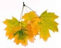 Fogli di autunno isolati su priorità bassa bianca Fotografie Stock